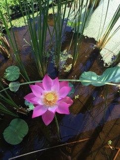 The lotus blossom on my final day of teacher training.